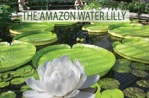 The Amazon Water Lilly